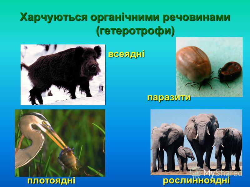 Харчуються органічними речовинами (гетеротрофи) плотоядні всеядні рослинноядні паразити
