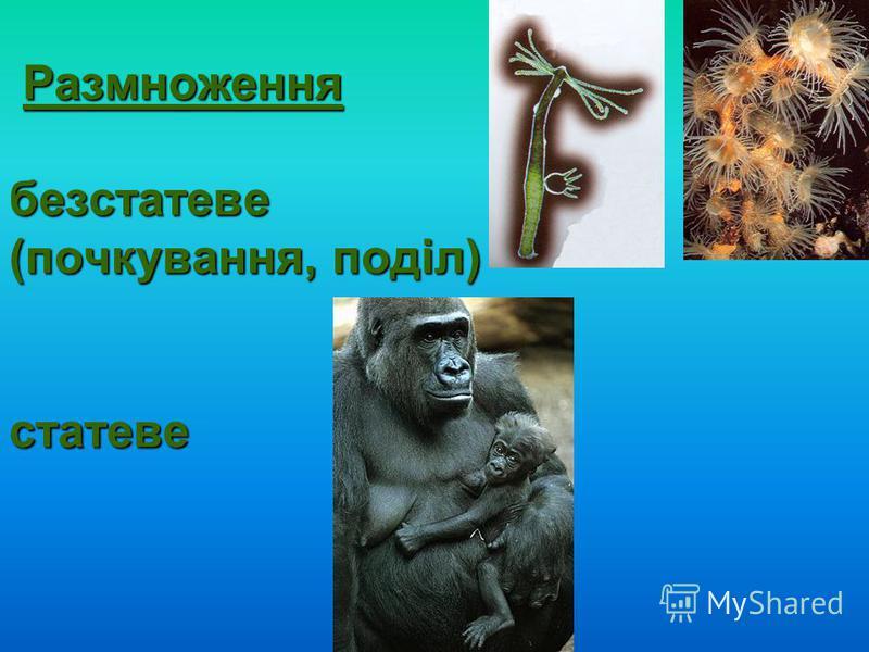 Размноження безстатеве (почкування, поділ) статеве Размноження безстатеве (почкування, поділ) статеве