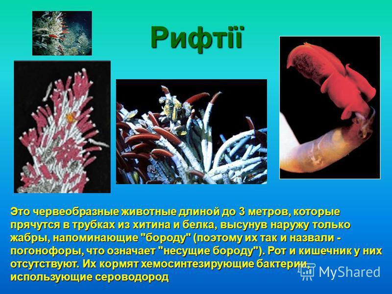 Рифтії Это червеобразные животные длиной до 3 метров, которые прячутся в трубках из хитина и белка, высунув наружу только жабры, напоминающие