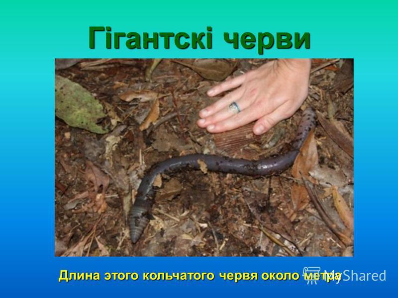 Гігантскі черви Длина этого кольчатого червя около метра