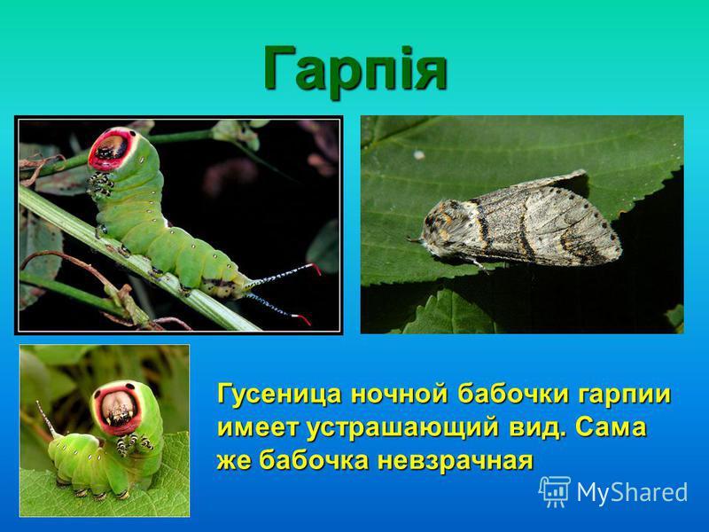 Гарпія Гусеница ночной бабочки гарпии имеет устрашающий вид. Сама же бабочка невзрачная