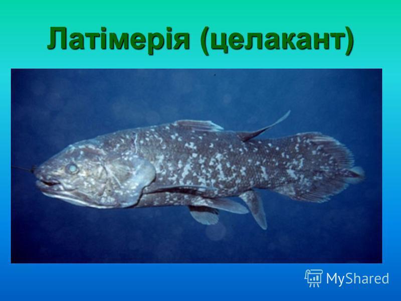 Латімерія (целакант)
