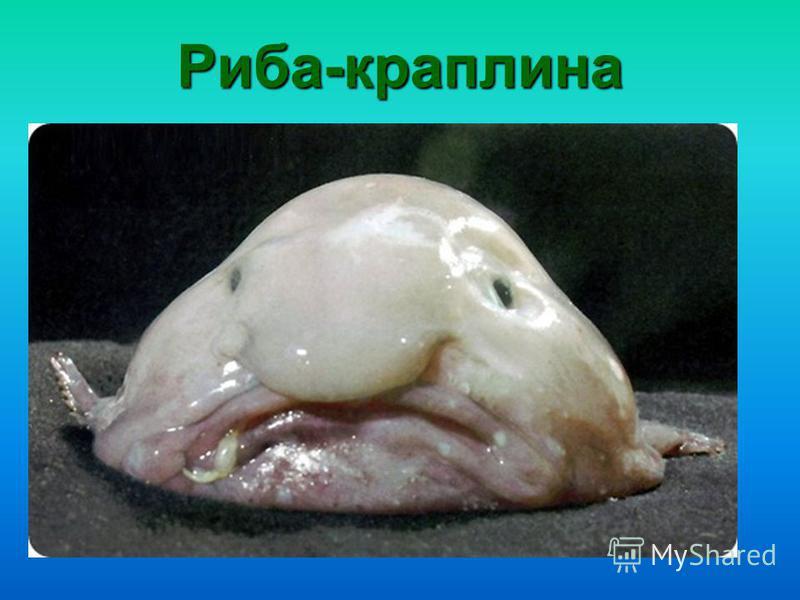 Риба-краплина