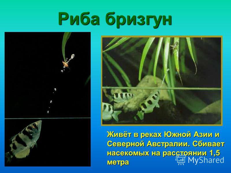 Риба бризгун Живёт в реках Южной Азии и Северной Австралии. Сбивает насекомых на расстоянии 1,5 метра