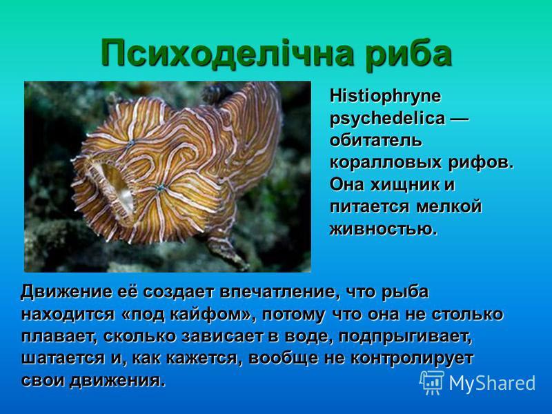 Психоделічна риба Движение её создает впечатление, что рыба находится «под кайфом», потому что она не столько плавает, сколько зависает в воде, подпрыгивает, шатается и, как кажется, вообще не контролирует свои движения. Histiophryne рsychedelica оби