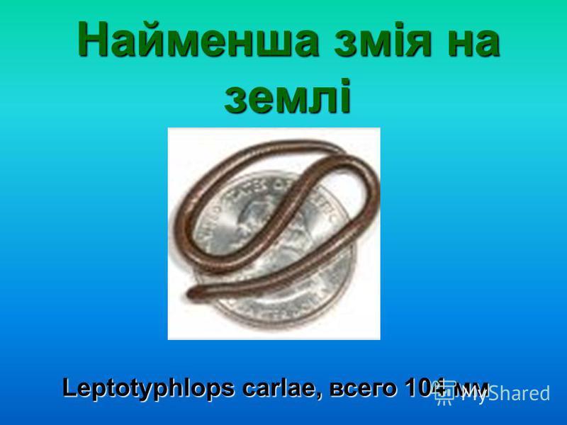 Найменша змія на землі Leptotyphlops carlae, всего 104 мм