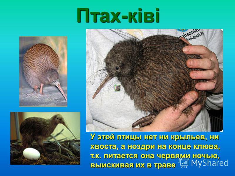 Птах-ківі У этой птицы нет ни крыльев, ни хвоста, а ноздри на конце клюва, т.к. питается она червями ночью, выискивая их в траве