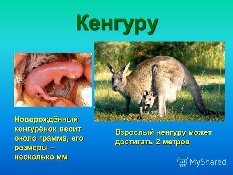 Кенгуру Новорождённый кенгурёнок весит около грамма, его размеры – несколько мм Взрослый кенгуру может достигать 2 метров