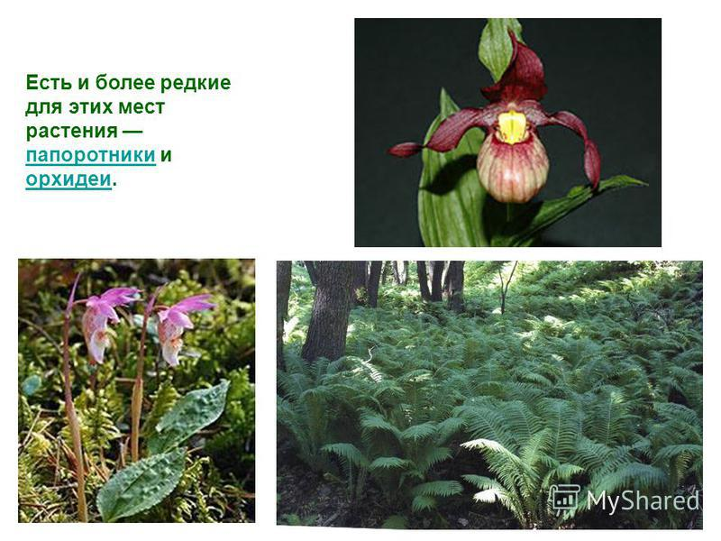 Есть и более редкие для этих мест растения папоротники и орхидеи. папоротники орхидеи