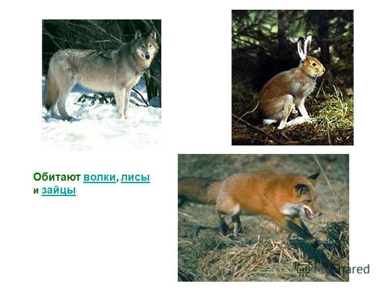 Обитают волки, лисы и зайцы волки лисы зайцы