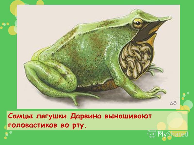 Самцы лягушки Дарвина вынашивают головастиков во рту.