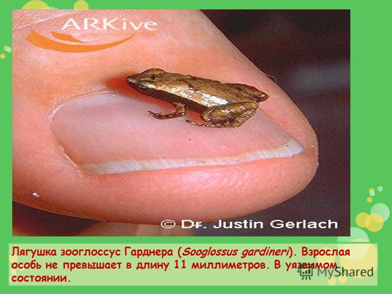 Лягушка зооглоссус Гарднера (Sooglossus gardineri). Взрослая особь не превышает в длину 11 миллиметров. В уязвимом состоянии.