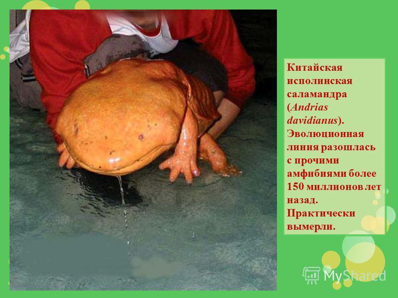 Китайская исполинская саламандра (Andrias davidianus). Эволюционная линия разошлась с прочими амфибиями более 150 миллионов лет назад. Практически вымерли.