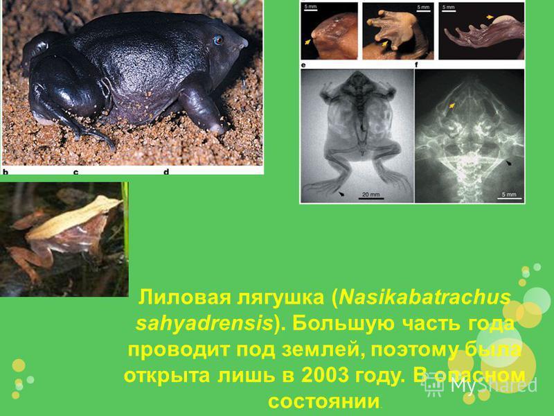 Лиловая лягушка (Nasikabatrachus sahyadrensis). Большую часть года проводит под землей, поэтому была открыта лишь в 2003 году. В опасном состоянии.