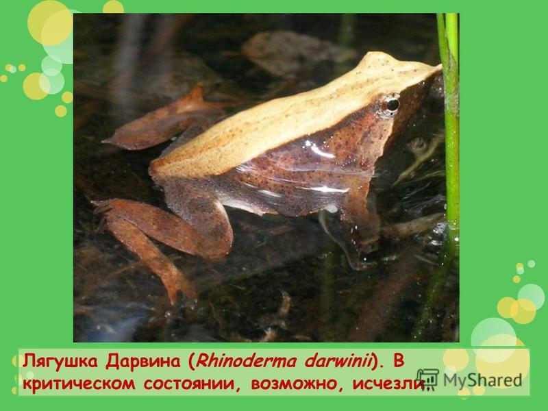 Лягушка Дарвина (Rhinoderma darwinii). В критическом состоянии, возможно, исчезли.