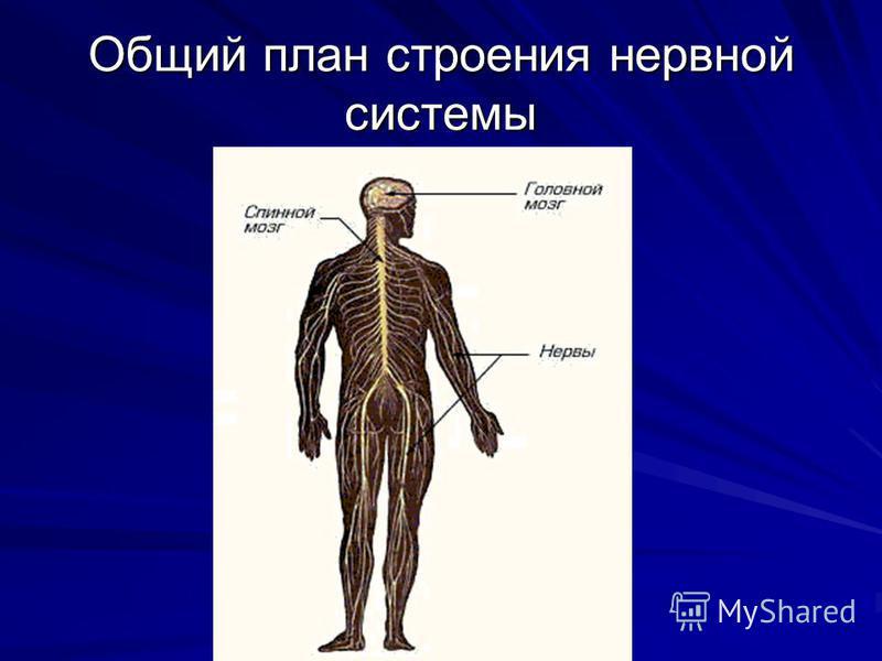 Общий план строения нервной системы