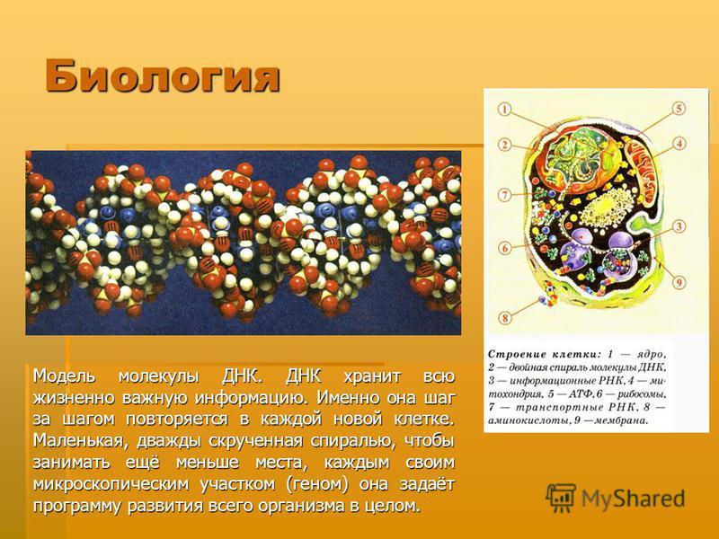Биология Модель молекулы ДНК. ДНК хранит всю жизненно важную информацию. Именно она шаг за шагом повторяется в каждой новой клетке. Маленькая, дважды скрученная спиралью, чтобы занимать ещё меньше места, каждым своим микроскопическим участком (геном)