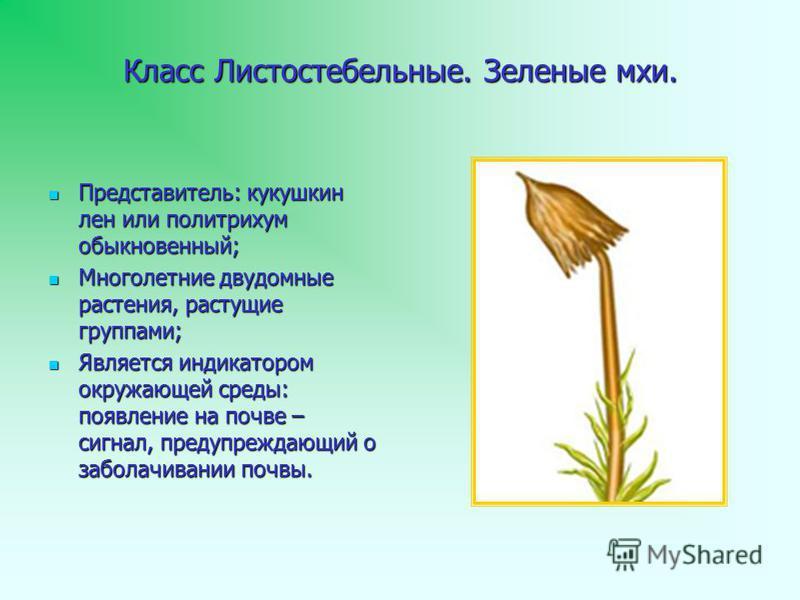 Класс Листостебельные. Зеленые мхи. Представитель: кукушкин лен или политрихум обыкновенный; Представитель: кукушкин лен или политрихум обыкновенный; Многолетние двудомные растения, растущие группами; Многолетние двудомные растения, растущие группами