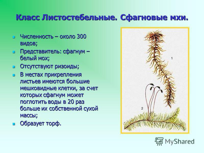 Класс Листостебельные. Сфагновые мхи. Численность – около 300 видов; Численность – около 300 видов; Представитель: сфагнум – белый мох; Представитель: сфагнум – белый мох; Отсутствуют ризоиды; Отсутствуют ризоиды; В местах прикрепления листьев имеютс