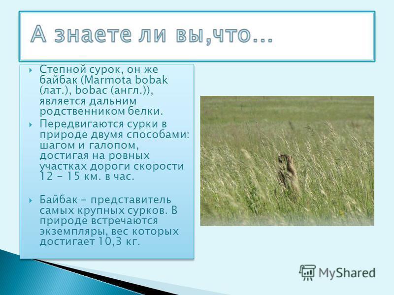 Степной сурок, он же байбак (Marmota bobak (лат.), bobaс (англ.)), является дальним родственником белки. Передвигаются сурки в природе двумя способами: шагом и галопом, достигая на ровных участках дороги скорости 12 - 15 км. в час. Байбак - представи