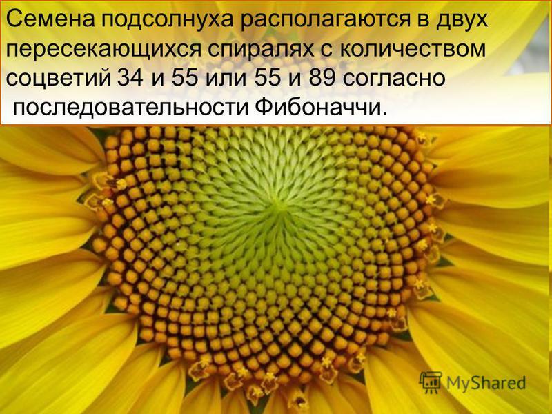 Семена подсолнуха располагаются в двух пересекающихся спиралях с количеством соцветий 34 и 55 или 55 и 89 согласно последовательности Фибоначчи.
