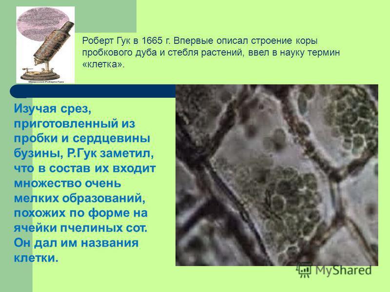 Изучая срез, приготовленный из пробки и сердцевины бузины, Р.Гук заметил, что в состав их входит множество очень мелких образований, похожих по форме на ячейки пчелиных сот. Он дал им названия клетки. Роберт Гук в 1665 г. Впервые описал строение коры