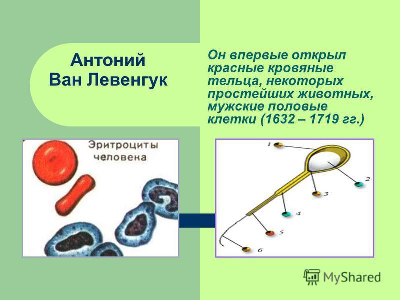 Антоний Ван Левенгук Он впервые открыл красные кровяные тельца, некоторых простейших животных, мужские половые клетки (1632 – 1719 гг.)