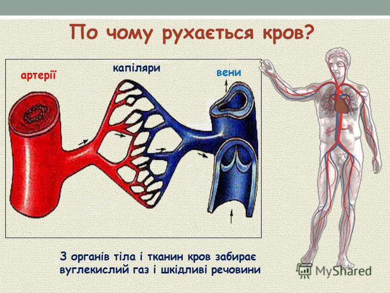 артерії капіляри вени З органів тіла і тканин кров забирає вуглекислий газ і шкідливі речовини