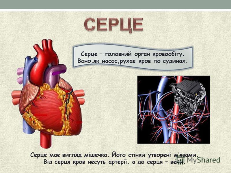 Серце – головний орган кровообігу. Воно,як насос,рухає кров по судинах. Серце має вигляд мішечка. Його стінки утворені мязами. Від серця кров несуть артерії, а до серця – вени.