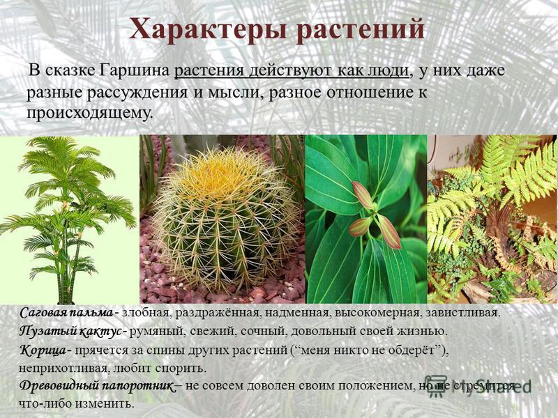 Характеры растений В сказке Гаршина растения действуют как люди, у них даже разные рассуждения и мысли, разное отношение к происходящему. Саговая пальма - злобная, раздражённая, надменная, высокомерная, завистливая. Пузатый кактус - румяный, свежий,