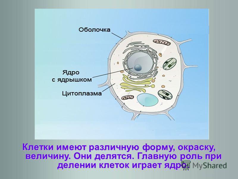 Клетки имеют различную форму, окраску, величину. Они делятся. Главную роль при делении клеток играет ядро.