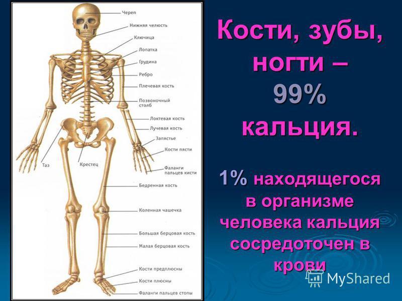 Кости, зубы, ногти – 99% кальция. 1% находящегося в организме человека кальция сосредоточен в крови