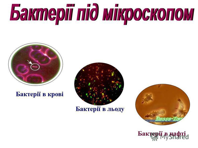 Бактерії в нафті Бактерії в крові Бактерії в льоду
