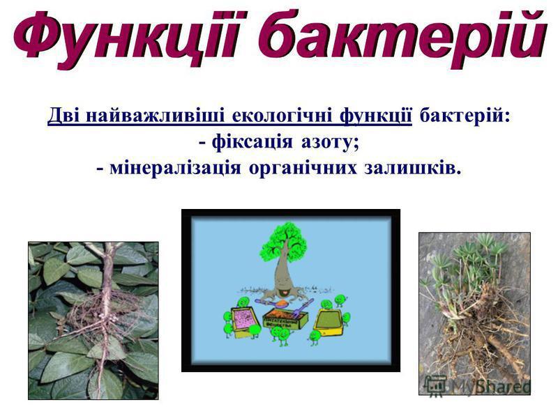 Дві найважливіші екологічні функції бактерій: - фіксація азоту; - мінералізація органічних залишків.