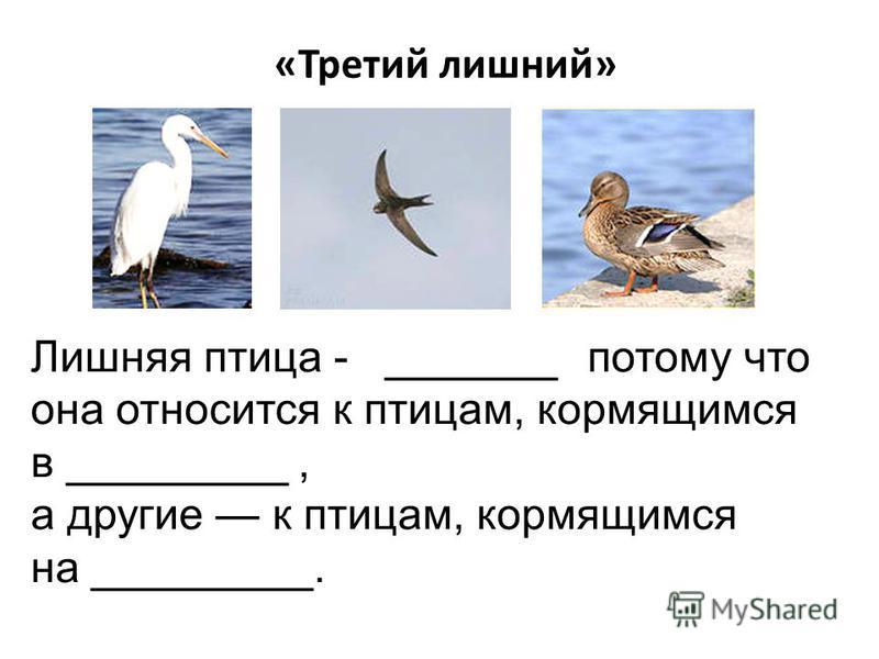 «Третий лишний» Лишняя птица - _______ потому что она относится к птицам, кормящимся в _________, а другие к птицам, кормящимся на _________.