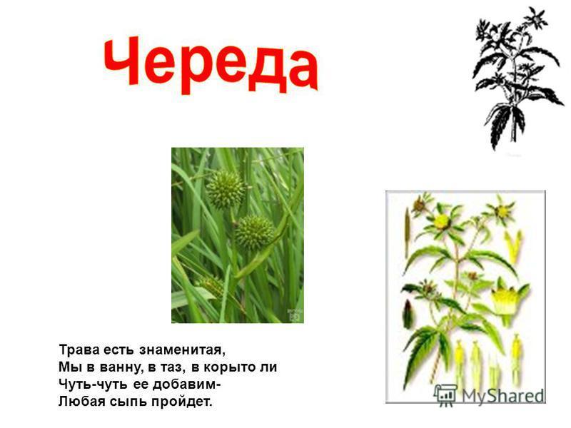 Трава есть знаменитая, Мы в ванну, в таз, в корыто ли Чуть-чуть ее добавим- Любая сыпь пройдет.