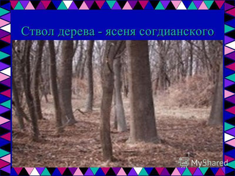 Ствол дерева - ясеня согдианского