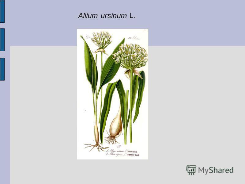 Allium ursinum L.