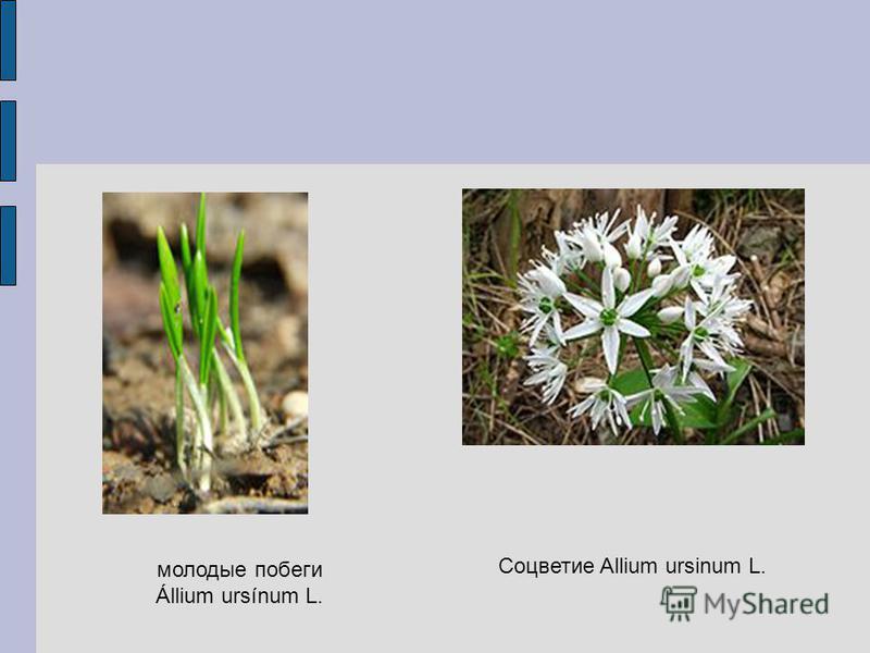молодые побеги Állium ursínum L. Соцветие Allium ursinum L.
