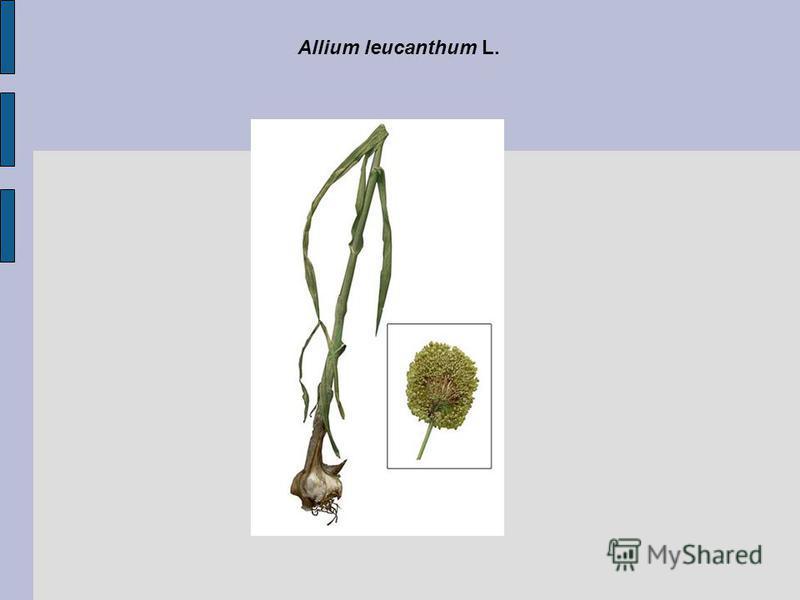 Allium leucanthum L.