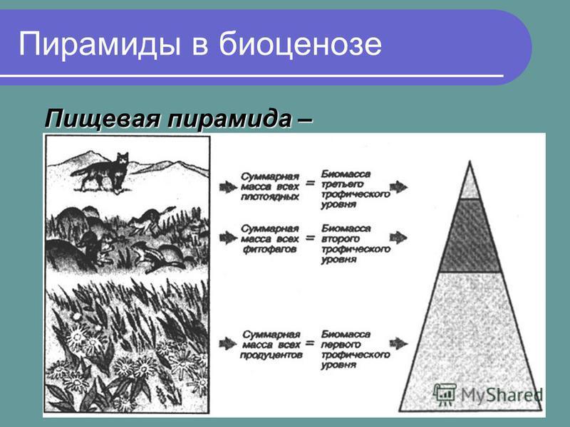 Пирамиды в биоценозе Пищевая пирамида – равное убывание биомассы каждого последующего звена в цепи питания
