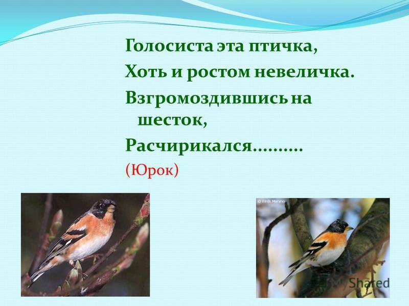 Голосиста эта птичка, Хоть и ростом невеличка. Взгромоздившись на шесток, Расчирикался.......... (Юрок)