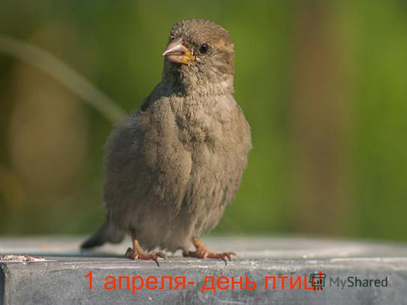 1 апреля- день птиц!
