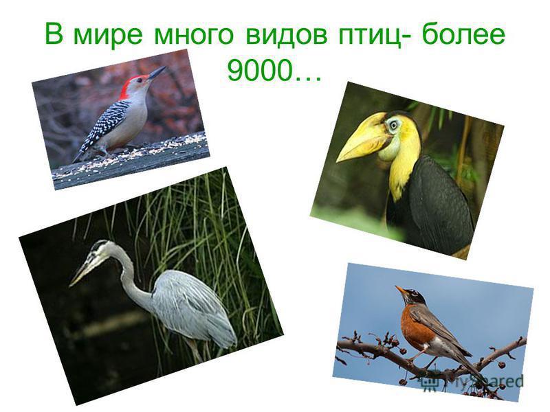 В мире много видов птиц- более 9000…