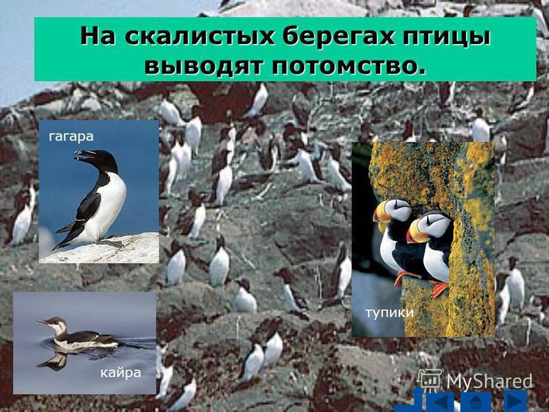 гагара кайра тупики На скалистых берегах птицы выводят потомство.