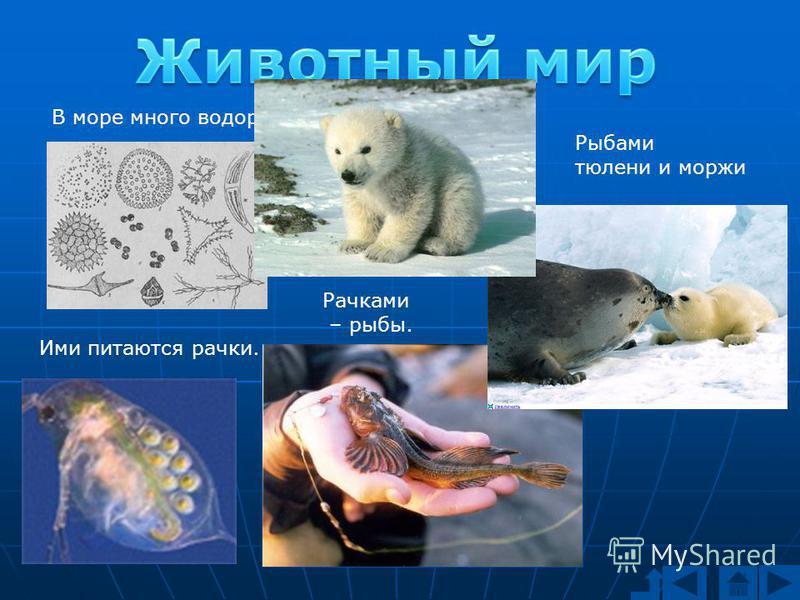 В море много водорослей. Ими питаются рачки. Рачками – рыбы. Рыбами тюлени и моржи