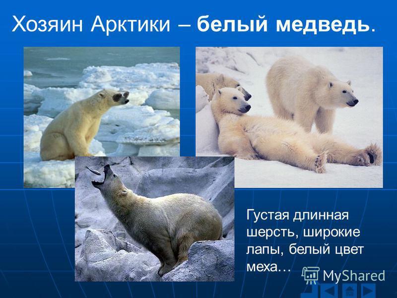 Густая длинная шерсть, широкие лапы, белый цвет меха… Хозяин Арктики – белый медведь.