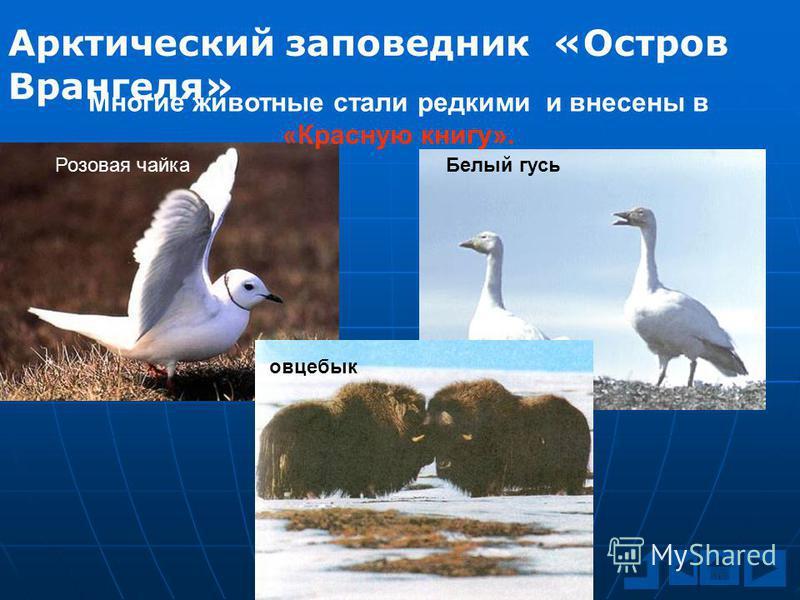 Арктический заповедник «Остров Врангеля» Многие животные стали редкими и внесены в «Красную книгу». Розовая чайка Белый гусь овцебык