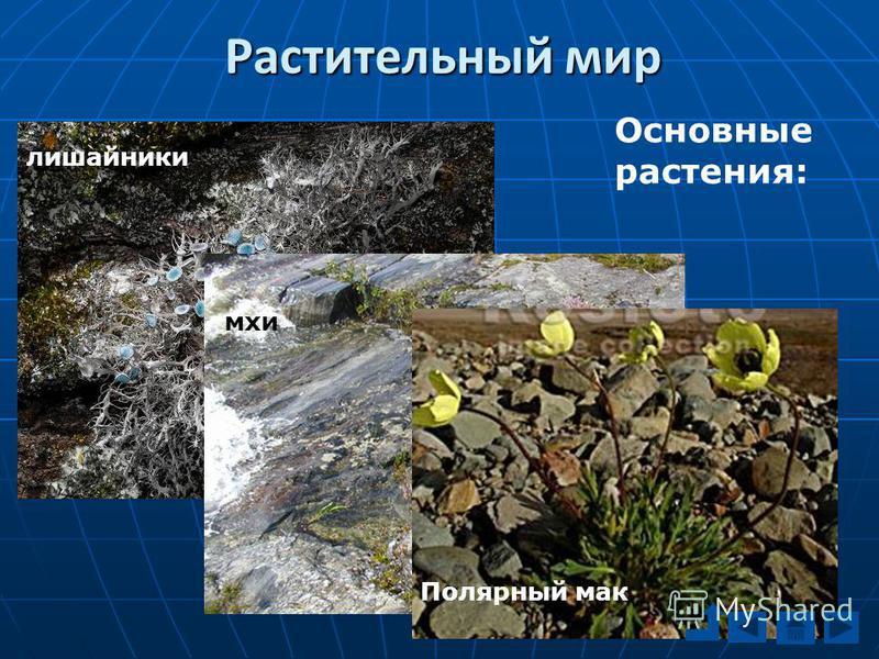 Основные растения: лишайники мхи Полярный мак Растительный мир
