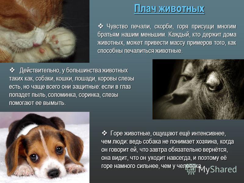 Плач животных Чувство печали, скорби, горя присущи многим братьям нашим меньшим. Каждый, кто держит дома животных, может привести массу примеров того, как способны печалиться животные. Чувство печали, скорби, горя присущи многим братьям нашим меньшим